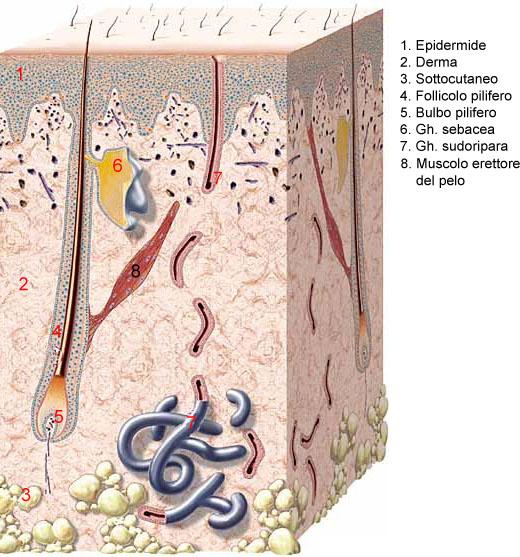 funzione ghiandole sebacee